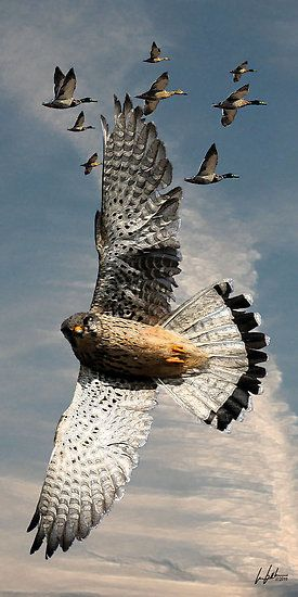 Peregrine: Flaring on Ducks. by J. Leslie Booth.