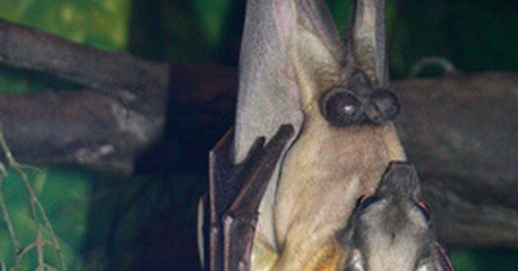 ¿Cómo ayudan los murciélagos al ecosistema?. Los murciélagos a menudo tienen mala reputación. La gente les teme debido a mitos y supersticiones sobre los vampiros y la propagación de la enfermedad. Sin embargo, hay solamente tres especies de murciélagos vampiros de más de miles de especies de murciélagos, y realmente no chupan sangre. Los murciélagos son relativamente resistentes a la ...