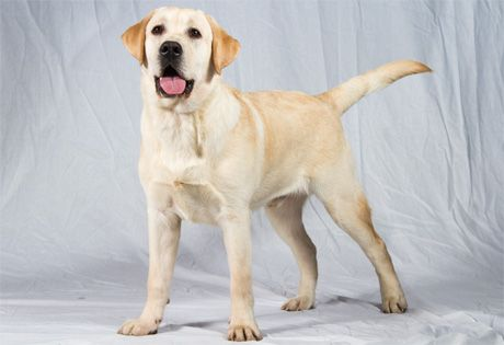 Labrador Retriever - ideal sporting and family large-size dog that is easily trained and has an even temperamant #lab #retriever #dog