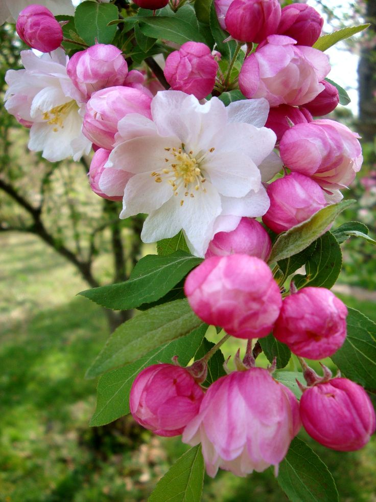 Apple blossoms, very sweet smell, good for vertical height in a bouquet.