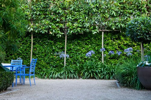 pleached evergreen magnolias and jasmine with agapanthus.  Blue chairs pick up the blue of the agapanthus brilliantly.