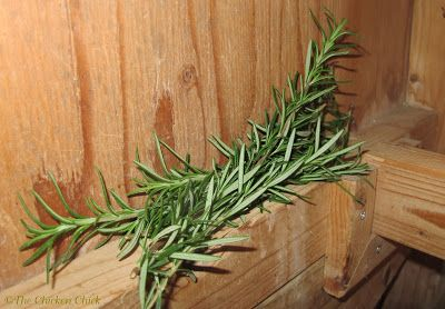 I put fresh stalks of rosemary inside my chicken coop during the growing season | The Chicken Chick