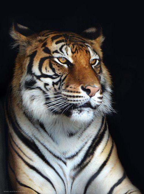 For my Tiger Lovers;) (via полосатый котэ - Раздел животные - Фотографии на Фото.Сайте - Photosight.ru)