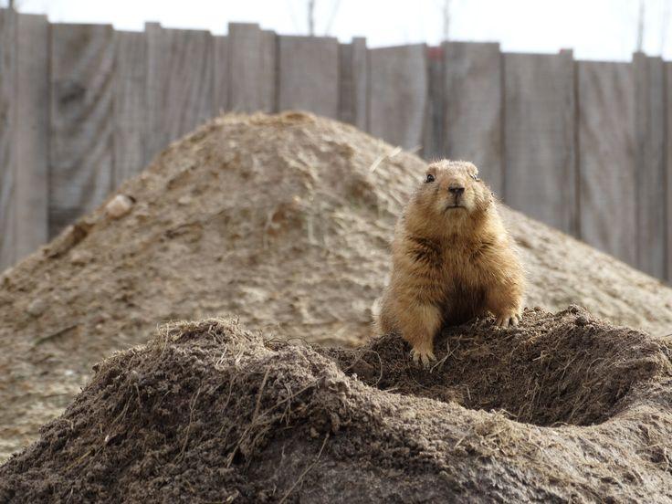 Prairie dog protecting his hole - Wildlands Adventure Zoo Emmen - 04-03-2017 By Tjaard Polet