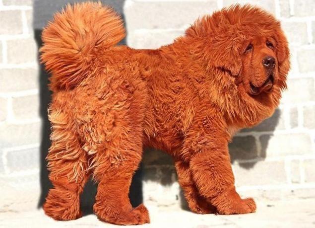 El perro más caro y el gato más grande en el mundo (32 fotos)