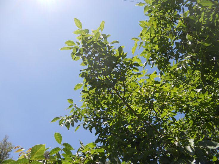 Albero di noci. Durante il #medioevo era opinione comune che sotto gli alberi di noci danzassero le #streghe nelle notti di #luna piena