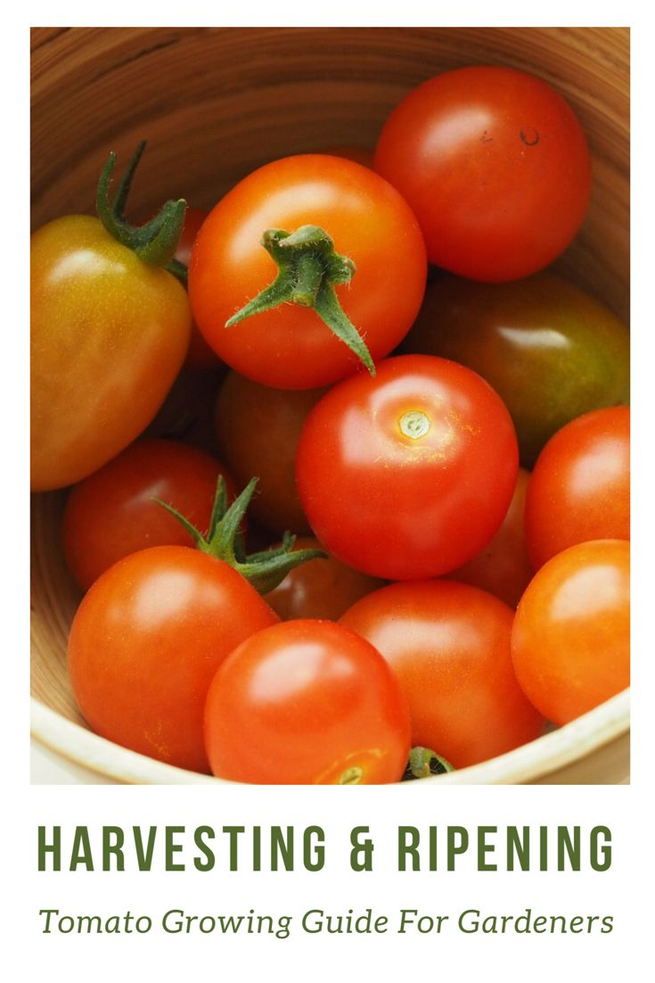 Tomatoes Harvesting Ripening Complete Guide For Gardeners Growing Tomatoes Tomato Growers Tomato