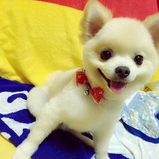 ミラクル可愛くなって帰ってきた💓💓 ふたまわりくらいちっちゃくなった😂 チビすぎる(꒦ິ⌑꒦ີ)💋 可愛さが世界遺産級😂💓 大好きが止まりません(´ε` )♡ #愛犬#ひまわり#トリミング#5ミリ#足8ミリ#柴犬カット#俊介くんカット#可愛すぎる#チビポメ#ポメラニアン#ポメラニアンが世界一可愛い