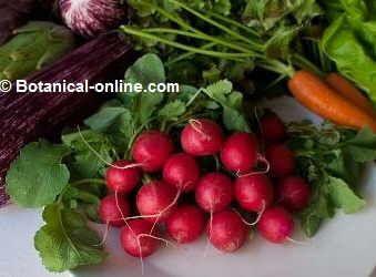 rabanitos,  beneficios , del hígado. colesterol alto,  hipertensión  y mas