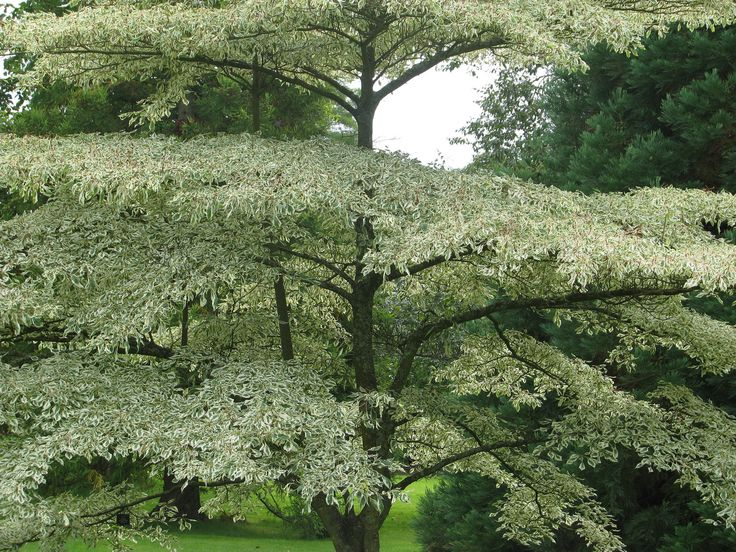 Silvery Alternate-leaf Dogwood (Cornus alternifolia argentea)