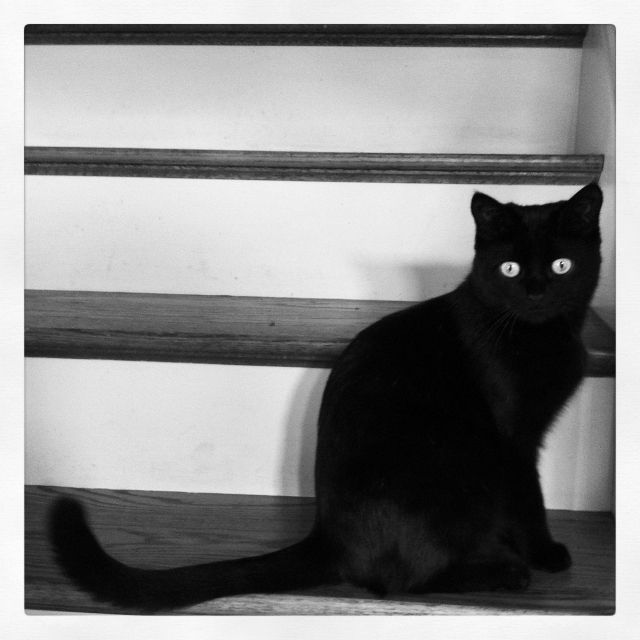 Lily the Bombay Cat
