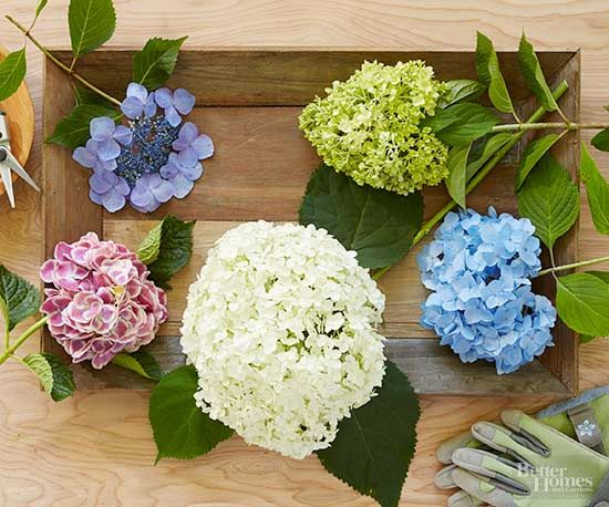 Nothing looks better in a summer garden than hydrangeas. Did you know that pruning your hydrangea blooms will help your shrub's growth? Use these tips on pruning hydrangeas to keep your flowers looking good year after year. #gardening #hydrangeas #flowers #pruning