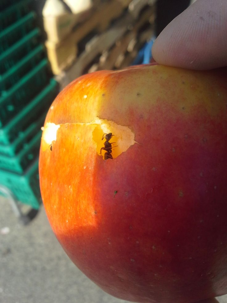 Ant eating apple 2