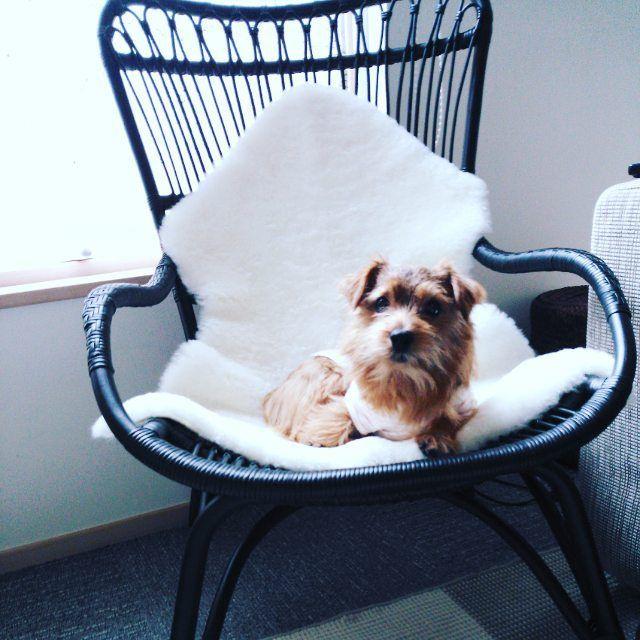 #ラタンチェア  欲しかった#ムートンと一緒に #楽天 でポチしちゃいました お値段とデザインを考慮した結果、#sikadesign に決定~座り心地も良くて、きなこもお気に入り(*^^*) #ノーフォークテリア #norfolkterrier #dog #chair#北欧#北欧家具#インテリア #北欧インテリア #家具#椅子#ラタン#オウチ #我ガ家ノアイドル