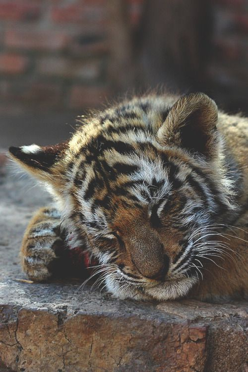 A Sleepy Tiger Cub. (Photo By: Tom Ward.)