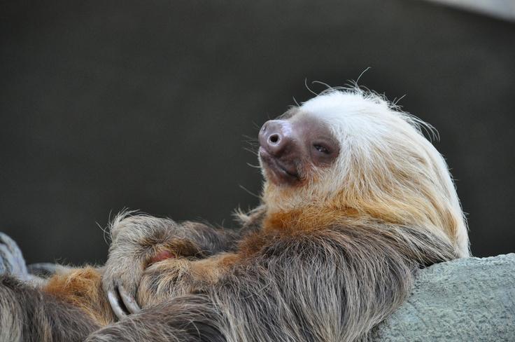 Sloth at Como Zoo, by Kimi Arvold