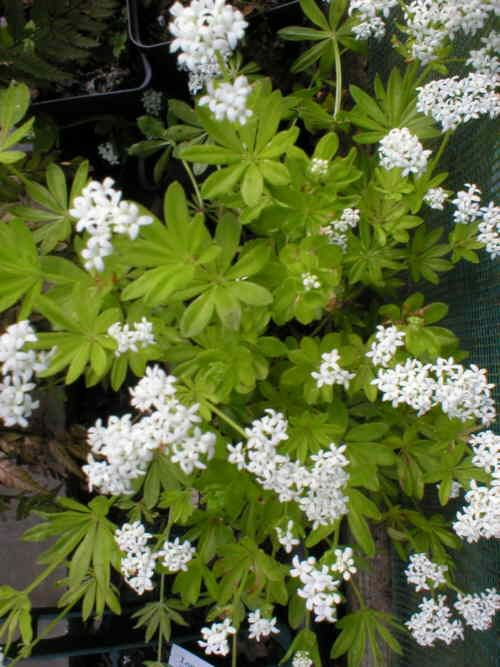 Galium odoratum- sweet woodruff. Good in dry shade as ground cover.