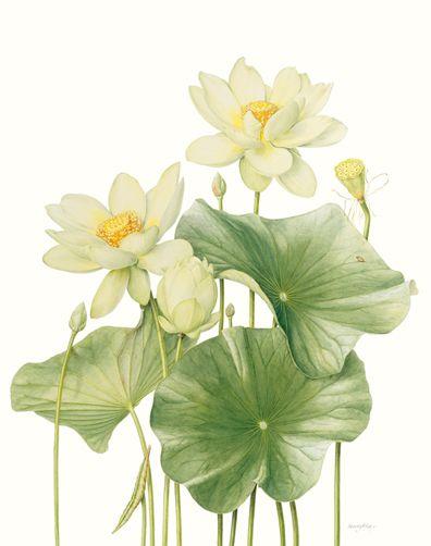 Beverly Allen Nelumbo lutea Yellow American lotus
