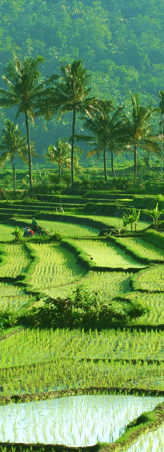 Ricefields around Candidasa, Bali. www.villapantaibali.com   Don't forget when traveling that electronic pickpockets are everywhere. Always stay protected with an Rfid Blocking travel wallet. https://igogeer.com for more information. #igogeer