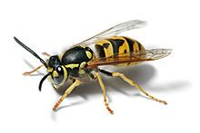 Yellow jackets are social hunters living in colonies containing workers, queens, and males (drones). Colonies are annual with only inseminated queens overwintering. Fertilized queens are found in protected places such as hollow logs, in stumps, under bark, in leaf litter, in soil cavities, and man-made structures.