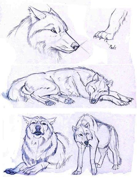 Wolf sketches which I will be using for reference ONLY