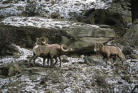 Bighorn Mountain Sheep - The Animals of British Columbia, Distribution - The California Bighorn resides in alpine meadows and foothills near rocky cliffs in the Okanagan, Similkameen and south Chilcotin regions.- Canada. Bighorn Sheep