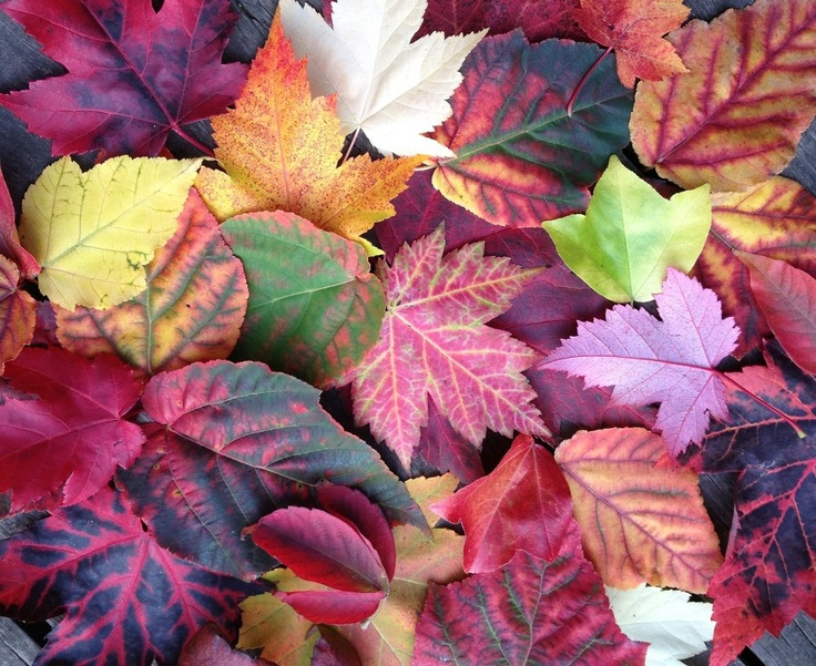 maple leaves from Wychwood Garden, in Tasmania