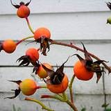 ROSE HIP TEA is refreshing, pleasantly tart and contains vitamins A, B, C, E and K, pectin and organic acids. Besides battling colds, the nutrient-rich tea boosts your health in other ways as well. This popular medicinal tea strengthens the body's resistance to infection, reinforces digestive function, combats all kinds of illnesses with fever, flushes out the kidneys and urinary tract and relieves mild rheumatic pain. ~ Use 2 heaping tsp. rose hips to 1 c. water.