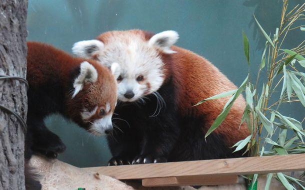 В Москву к невесте прибыл самец красной панды - http://zoovestnik.ru/2015/11/18072/