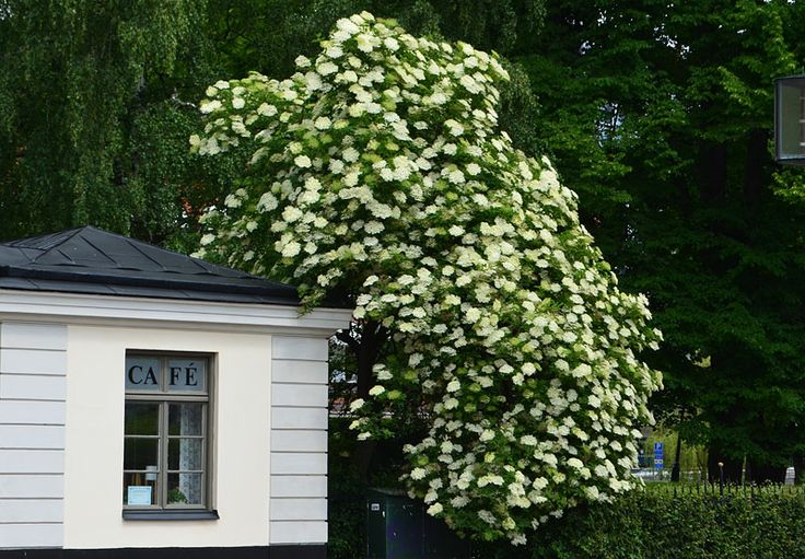 Stockholms gröna rum: Fläder - Sambucus nigra