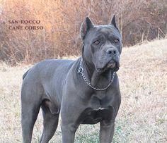 #Cane #Corso Breeder Photos - San Rocco Cane Corso   Cane Corso Puppies for Sale   Cane Corso Breeder