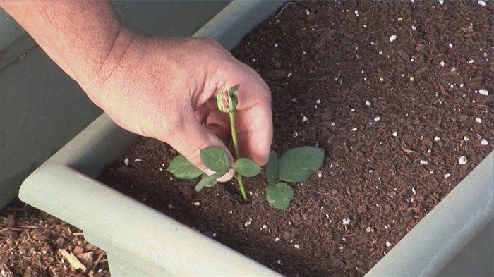 Многие хотят вырастить розы из подаренного букета, да только не всегда черенки пробуждаются и дают корни. Благодаря этому простому средству вы сможете прорастить даже самые захудалые и несвежие черенки.