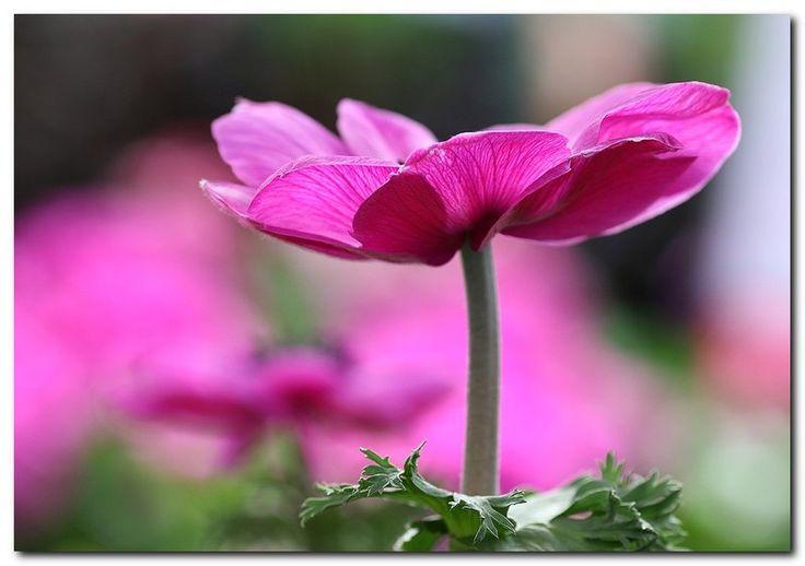 Fransk anemone