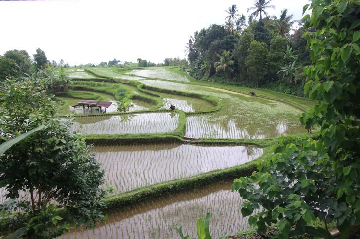 Rice terraces at Aling Aling waterfalls