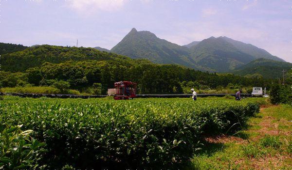 A tea farm on the island of Yakushima, in Kagoshima Prefecture.
