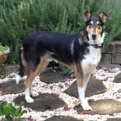 Evan is an adoptable Collie Dog in Winston-Salem, NC. 11/3/12: Hello folks my name is Evan and I am a two year old, smooth collie fellow. I was very much loved by my family but when they lost thei...