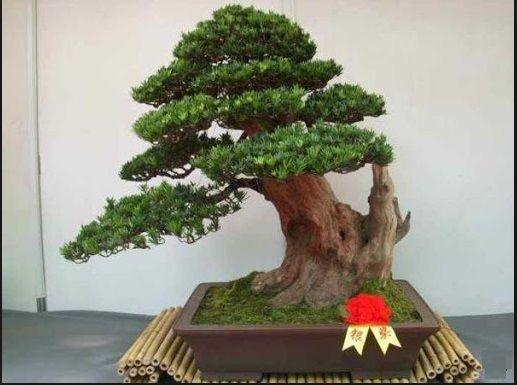 bonsai-jepang-2017