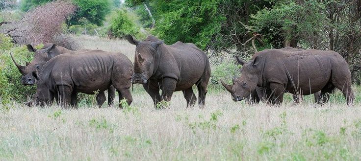 A Crash of #rhino. A disappearing sight.