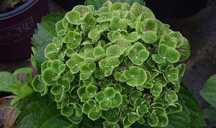 Hydrangea Macrophylla Greenmantle Hydrangea Macrophylla Macrophylla Hydrangea