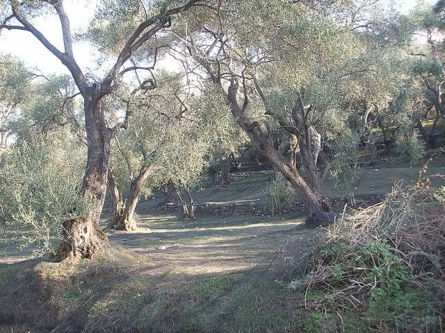 Olive tree's Roda, Corfu.