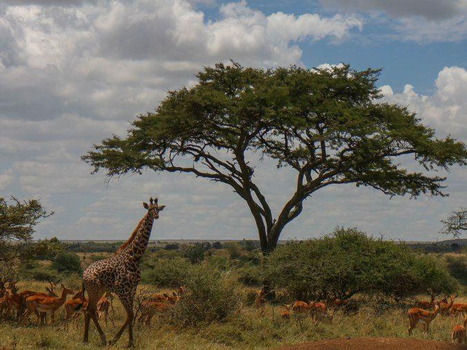 Nairobi Giraffe
