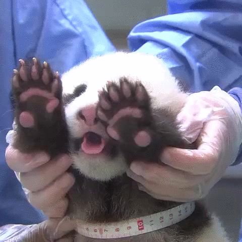 Panda Information Sheet Animals Giff #61 - Funny Panda Giffs  Funny Giffs  Panda Giffs