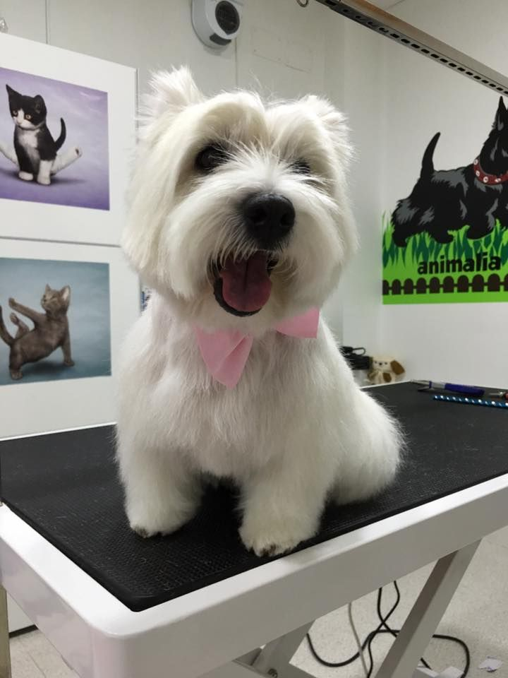 Kira, west highland white terrier