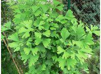 Rostlina | Ginkgo biloba, Jinan dvoulaločný