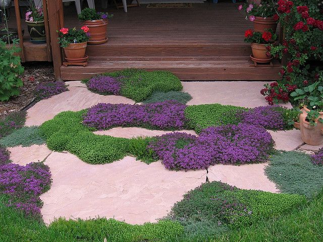 big thyme plants in tiny cracks: wooly thyme, white thyme, veronica