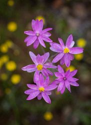 WAN-0027462 © WestPix Wildflowers near Mullewa. Pic Mogens Johansen, The West…