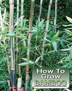 How To Grow Bamboo - from seed or cuttings. You'll need it for various diy…