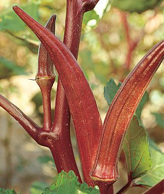 Red Velvet Organic Okra Seeds and Plants, Vegetable Seeds at Burpee.com