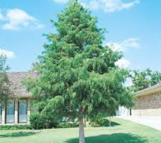 Bald Cypress Tree ( Taxodium distichum ) *The bald cypress is an all around great tree. It can tolerate many conditions and still thrive. I think a bald cypress would be great in the back near the creek bed.*