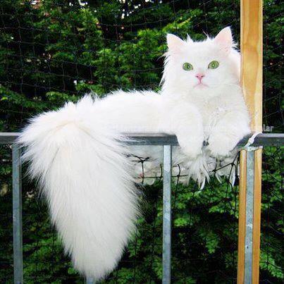 Gato de angora turco.    essa belíssima raça é a origem do gato persa. sua calda felpuda pelos longos e macios e olhos amendoados    alguns tem um olho azul e outro verde